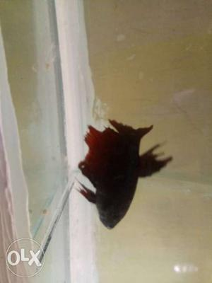 Betta fish for sale (Female) Price is slightly
