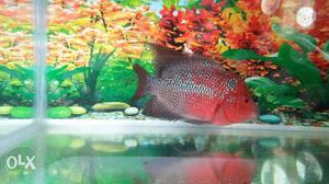High Quality Female Flowerhorn Fish for wholesale