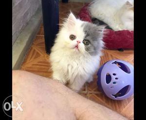 Persian himalayan siberian cats kittens available