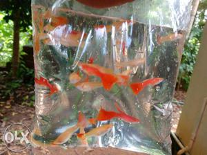 1 pair 100rs Albino Full Red Guppy contact