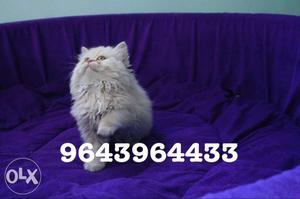 Adorable Cute Persian Kittens Available. All