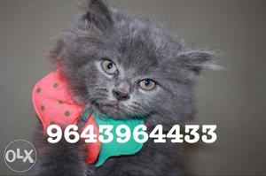 Cute And Friendly Persian Kittens Available. All