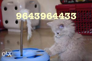 Furry and Cute Persian Kittens Available