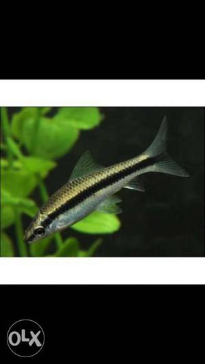 Monte carlo plant at cheap price and siamese algaeeater