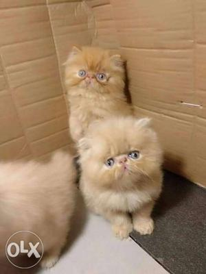 Pure line breed persian cats kitten for sale very