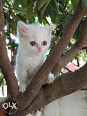 Blue eyes Persian cat doll face kittens