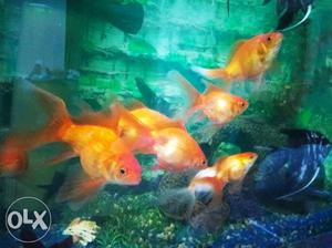 Gold and Angel fishes at affordable cost *Gold