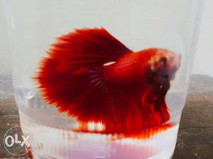 15days old imported betta fish for sale 15days