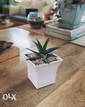 A cute aloe Vera plant in white plastic pot for