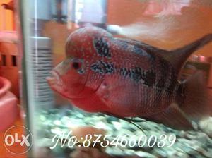 Big head male floran with fish tank, stone, plant,food,