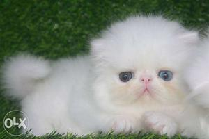 Cash on delivery pure persian kitten for sale in faridabad