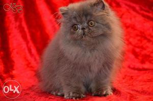 Cod all kitten persian kitten for sale in