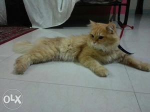 Golden Persian cat Proven Male Ready to cross one