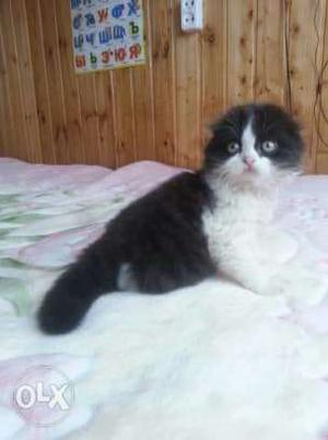 Normal eyes white persian kitten for sale cod free CALL ME