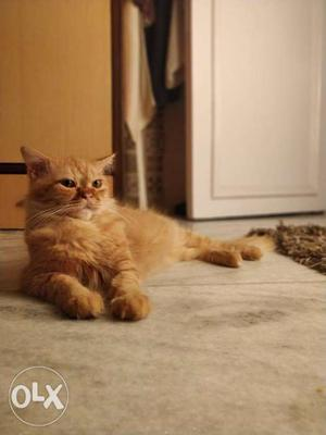 Persian Cat Male 15months old pure breed need a
