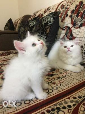 Persian cats kittens available follow us on insta