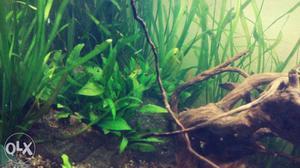 2_1.25_1.5 feet naturally planted stable aquarium