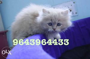 Cute And Adorbale Persian Kittens Available. All