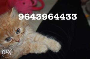 Cute Triple Coated Persian Kittens Available in