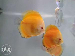Discus Fish For Sale 6 Big 5 inch 1 Small 1.5 inch