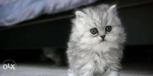 High quality gray colour only doll face persian