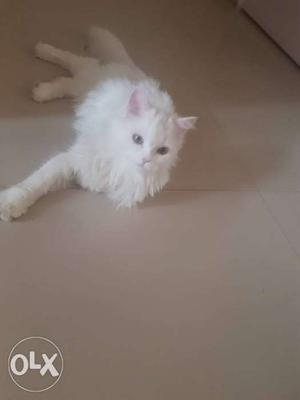 Male persian cat 6 month with one big cage and