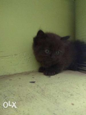Persian kitten each for Rs. Pure black male