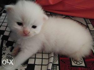 Persian kittens white color