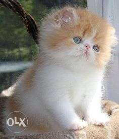 Doll face Persian cat and kitten available for sale in cheap