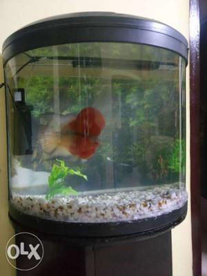 Flowran fish fire Red big size bigger head