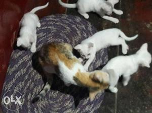 Four White Kittens And Brown And White Cat free free no Rs