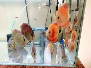 "Multi strain discus starting from 2.75"" to 6""+"