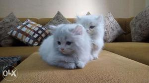 Os very beautiful parsian kitten for sale in noida
