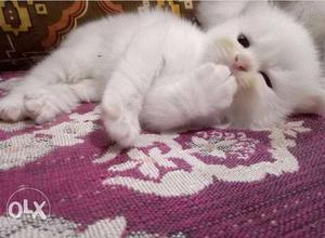 #Persian cat nagpur #persian kitten nagpur