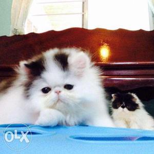 Very beautifull persian kitten for sale in noida CASH ON