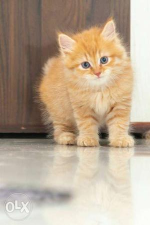 I want to sale my kitten in brown colour male at