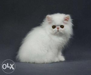 AA very cheap price 50 days persian kitten for sale in all