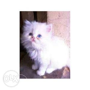 COD available pure Persian kitten for sale in all