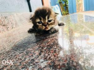 Persian kittens male and female available 1 month exchange
