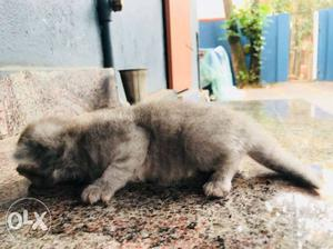 Persian male and female kittens for sale..urgnt exchange