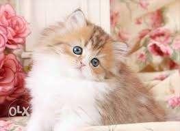 So beautiful pure Persian New Born baby..very