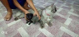 Black And Gray Persian Kittens And Gray Persian Cat