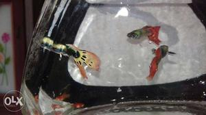 Ornamental Fishes Black Molly, Half black Molly,