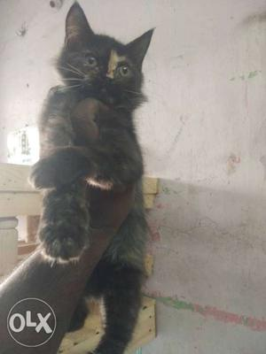 Persian kitten for sale in Chennai