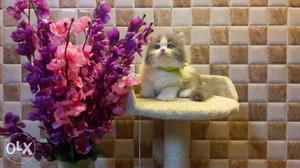 Playfull active persian cats kitten sale all