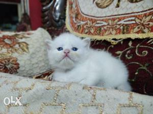 Pure persian and semi persian kittens kittens
