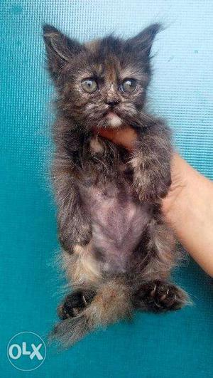 Real colors baby persian cats kitten sale more playfull cute
