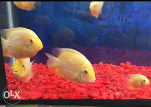 Sivrama fish small and big size