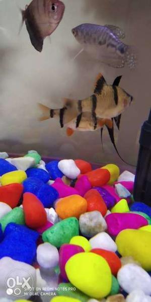 Small fishes 3 nos aquarium fishes, my aquarium