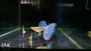 5 male guppy for sale 50 rs | Posot Class